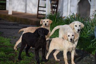 Golden mix puppies 2