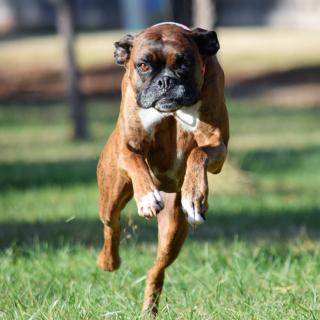 Daisy Boxer running tcf